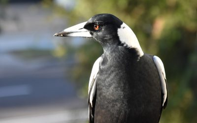 Media Release -13 August 2021 – Magpies on the swoop